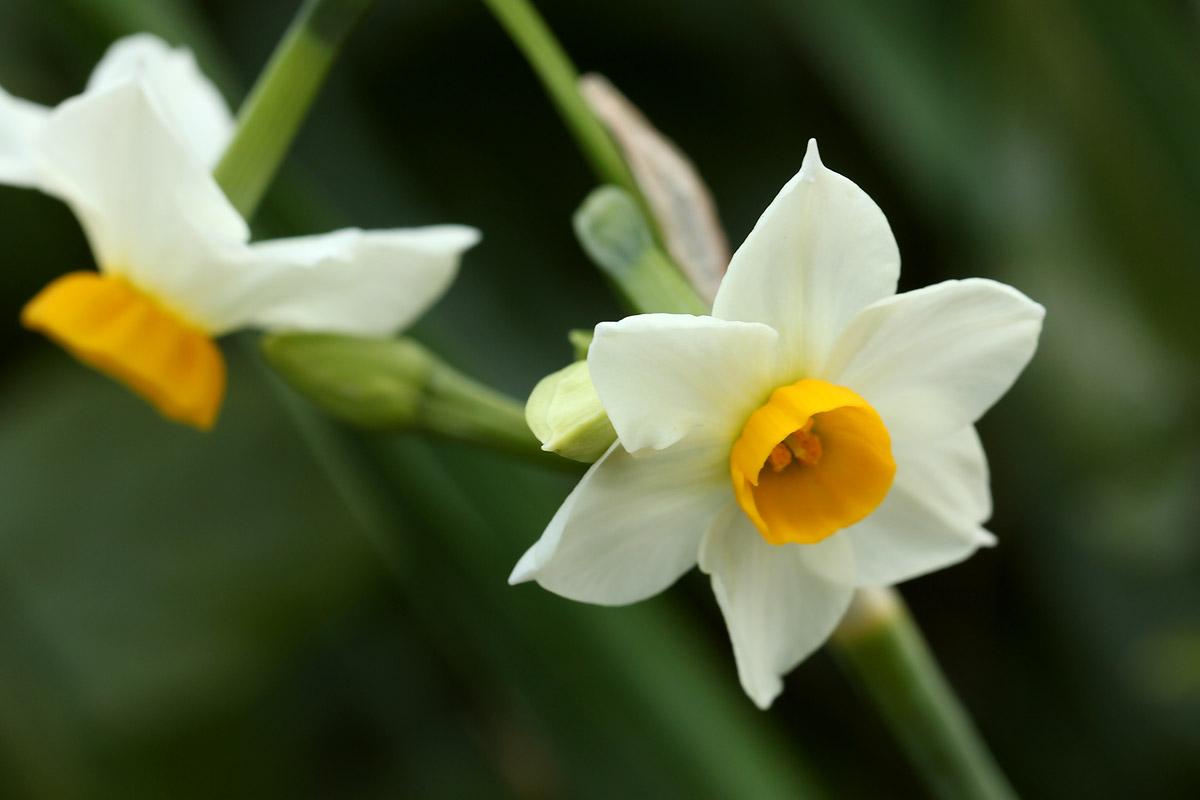 房咲き水仙 / お花の写真集