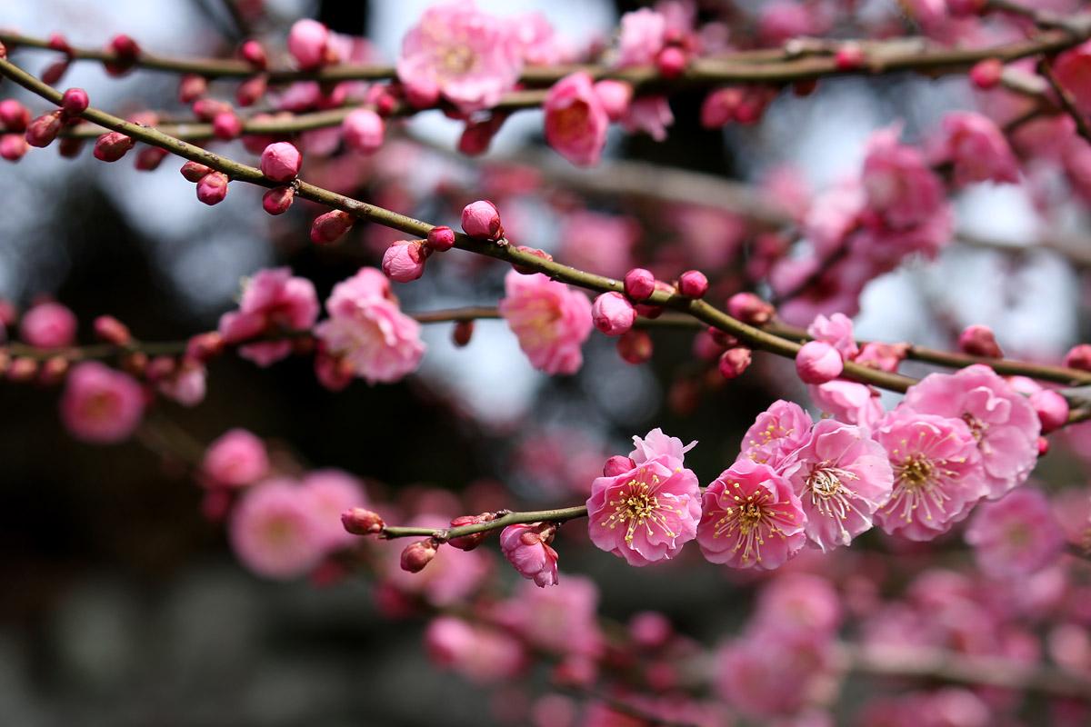 お花の写真集 / 梅の花(ウメ)