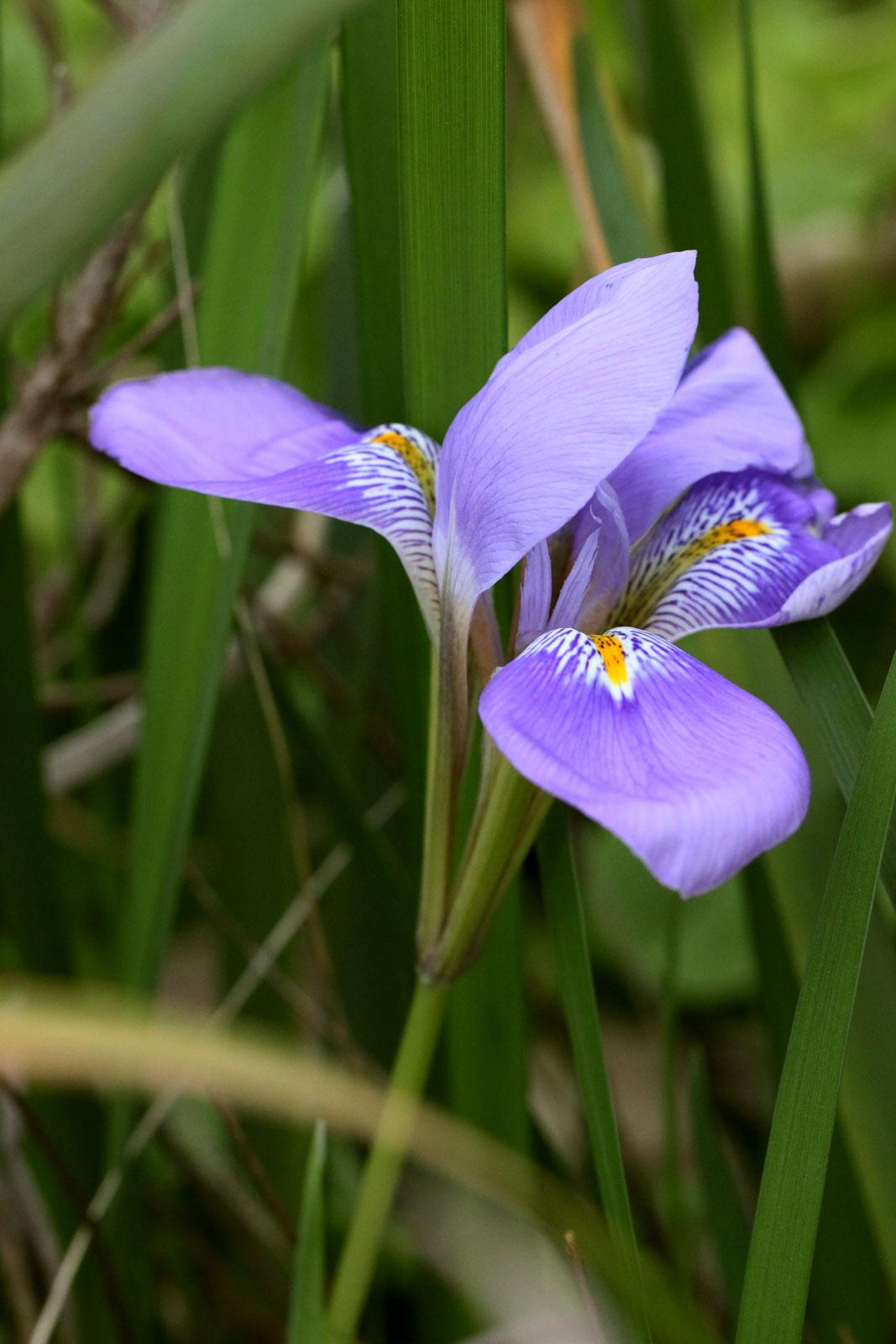 お花の写真集 / カンザキアヤメ(寒咲き菖蒲)