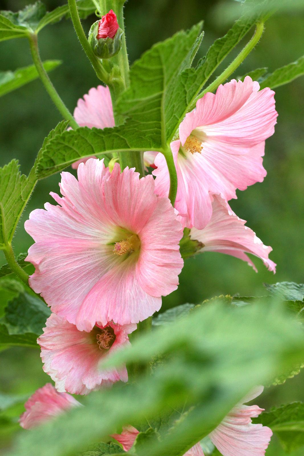 タチアオイ(立葵) / お花の写真集