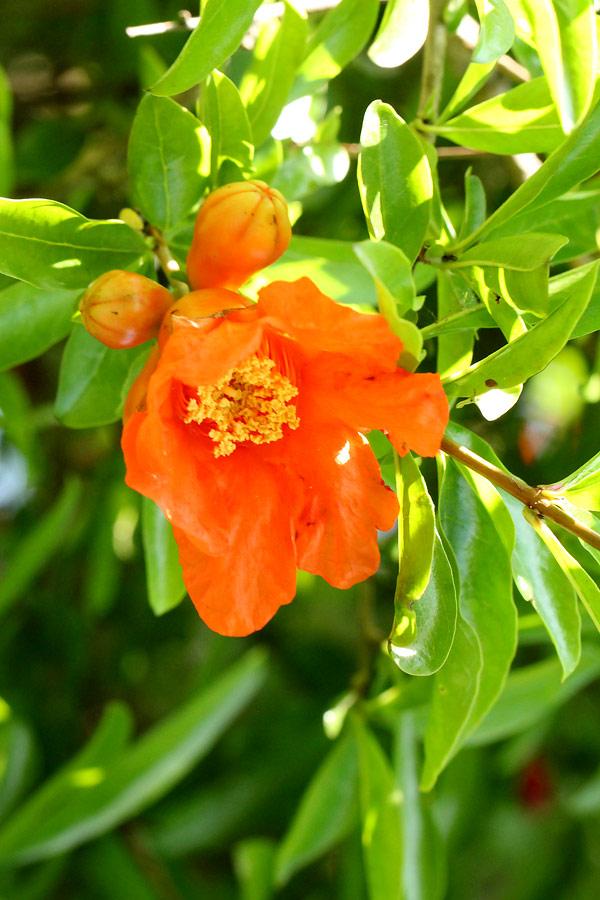 ザクロ(石榴) ザクロ(石榴) / お花の写真集 お花の写真集 / ザクロ(石榴) サイトマップ
