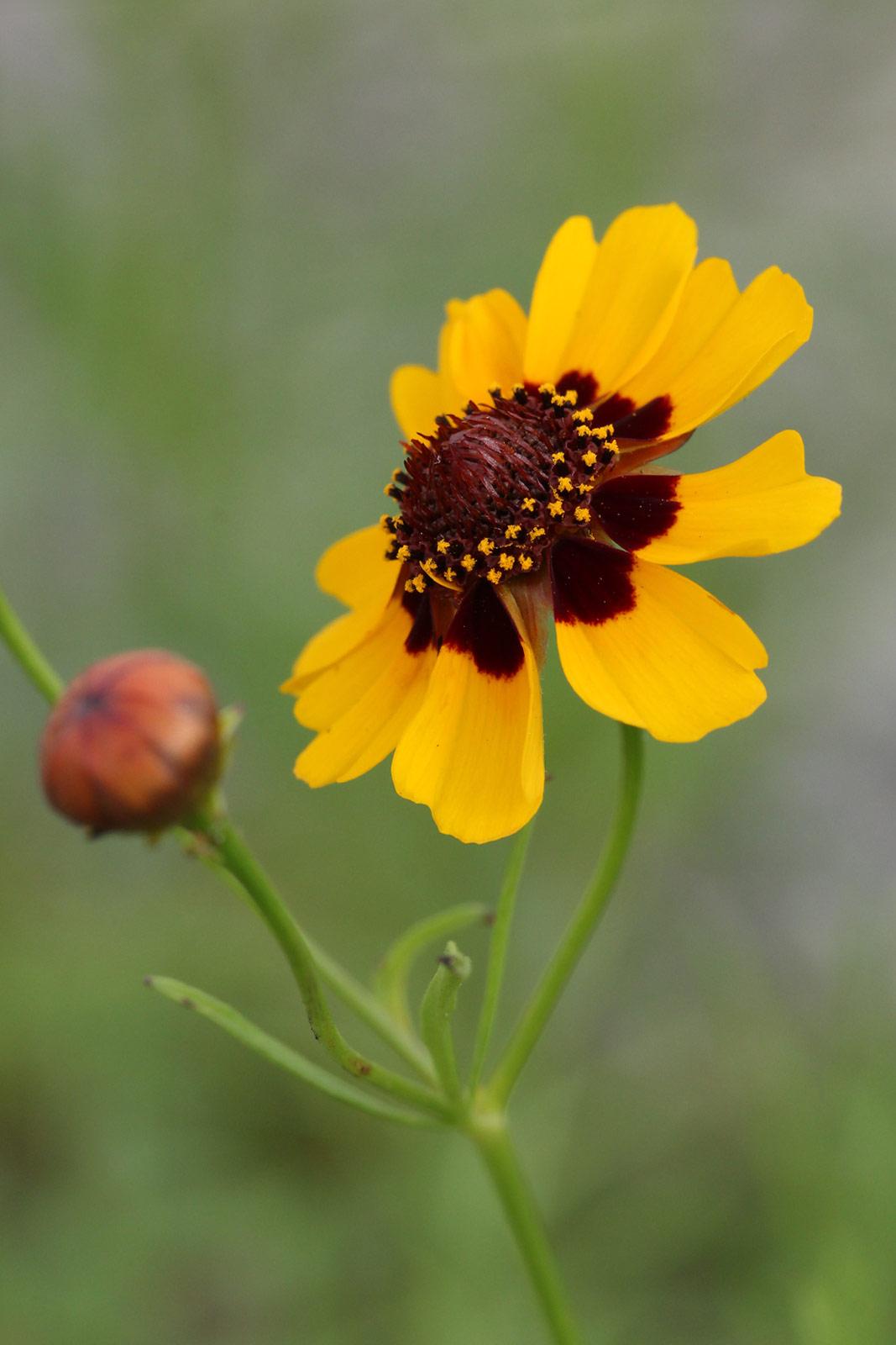 ハルシャギク(波斯菊) / お花の写真集