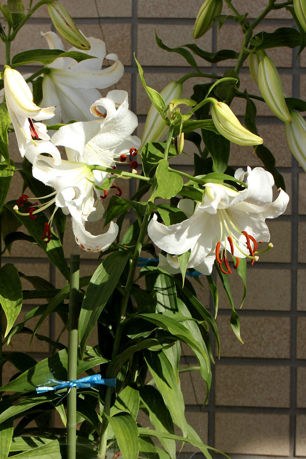 カサブランカ (植物)の画像 p1_37
