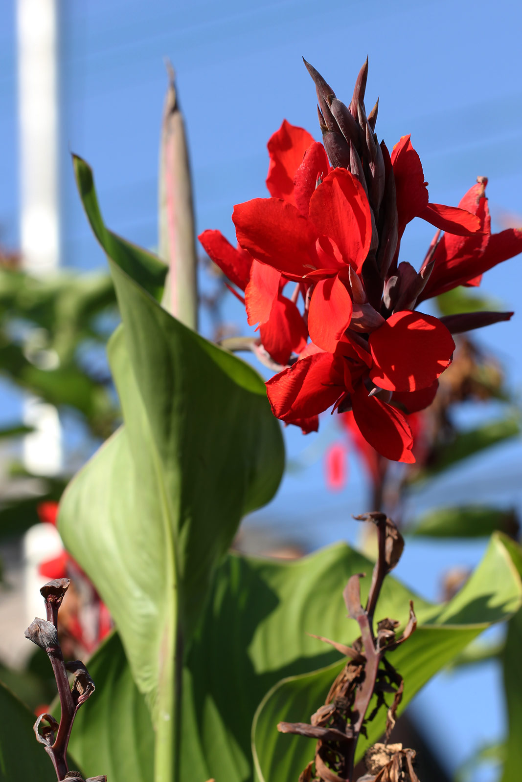 カンナ(赤) / お花の写真集