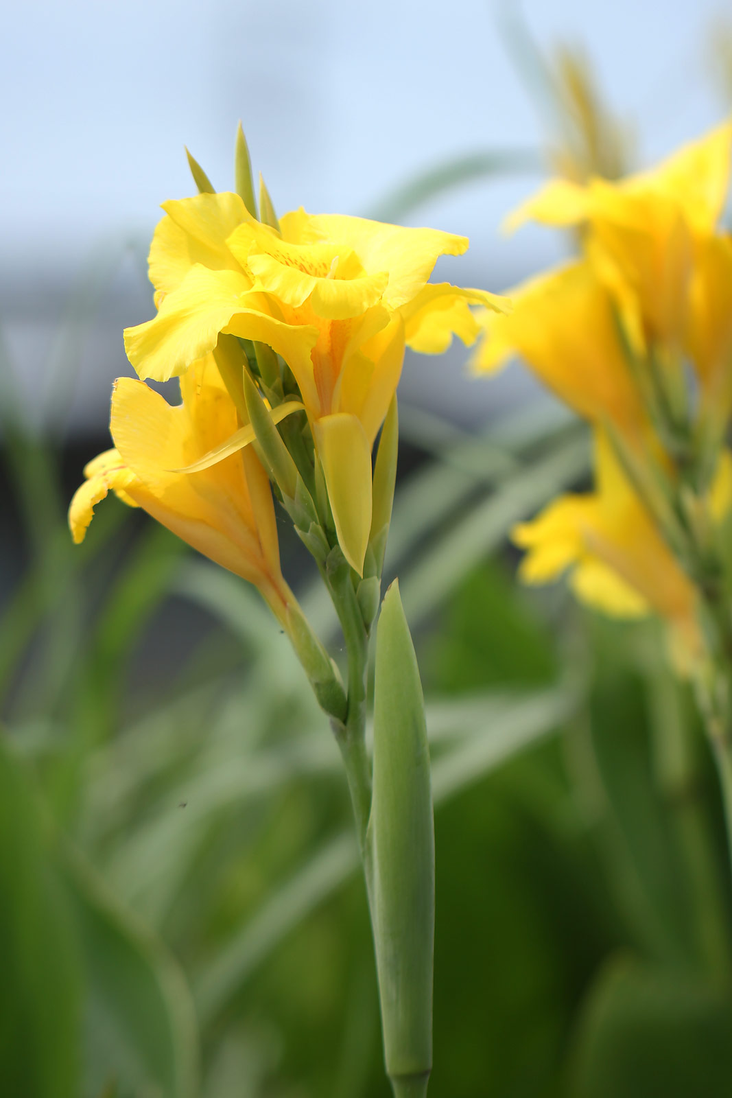 カンナ / お花の写真集