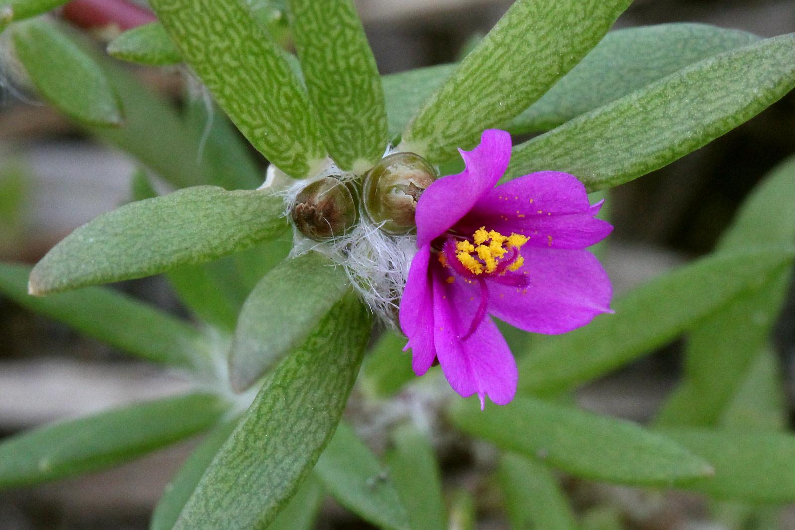 ヒメマツバボタン(姫松葉牡丹) 雄しべは黄色く沢山付き、雌しべはピンク。 葉のようす   / お