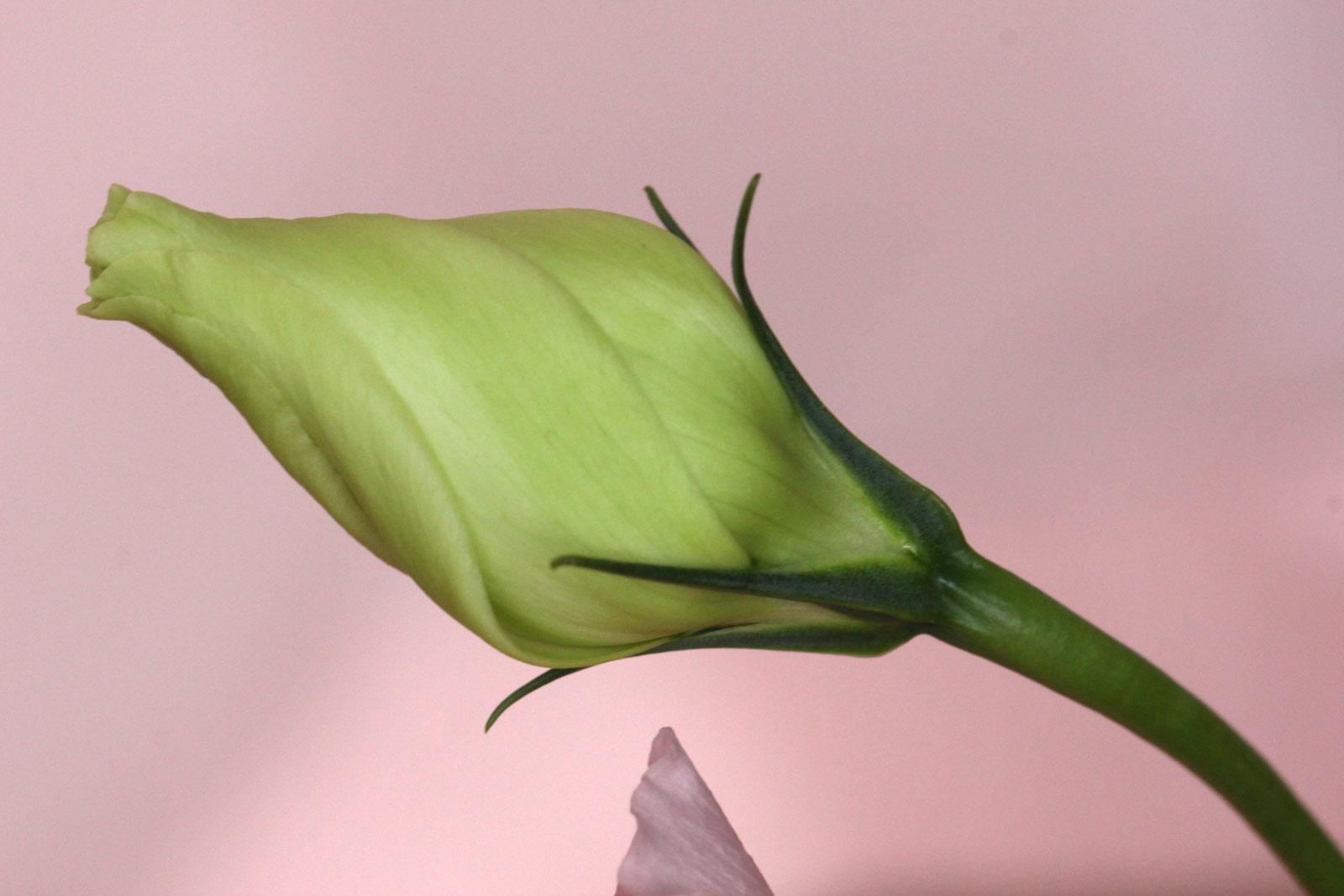 トルコキキョウの画像 p1_4