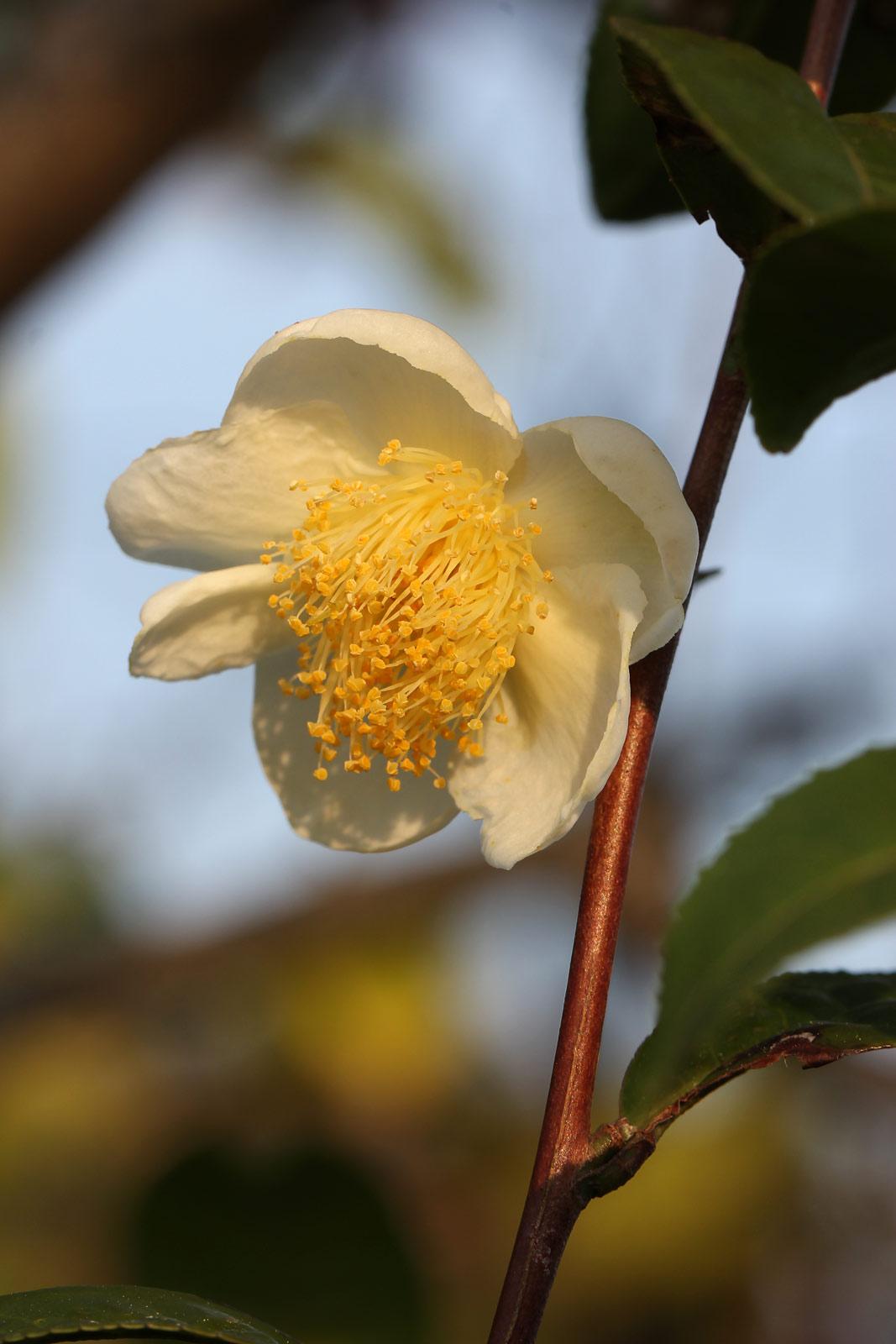 チャノキ(茶の木) お花の写真集 / チャノキ(茶の木) サイトマップ 素材使用について リンク